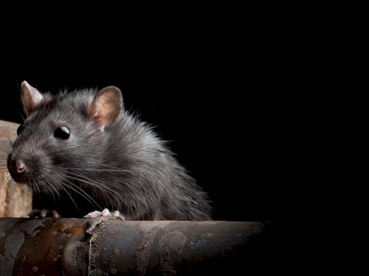 After Coronavirus, new Hantavirus in China - Man killed by Hantavirus